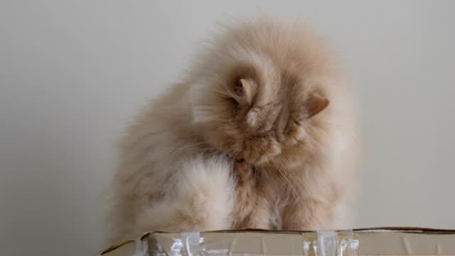 Nahaufnahme persische Katze wärst und leckt Pfote auf Box – Video