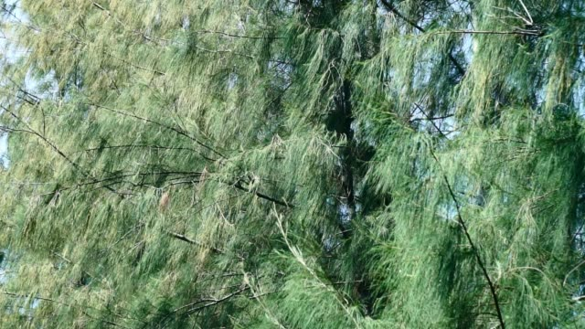 Close up pine leaf forest, green nature, green leaves. Close up pine leaf forest, green nature, green leaves. pine tree stock videos & royalty-free footage