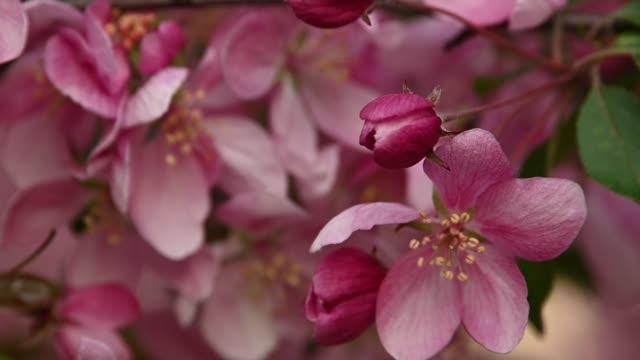 Close up pink Asian wild crabapple tree blossom