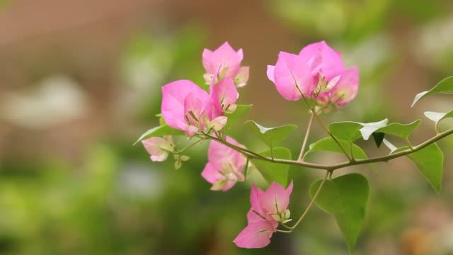 Close-up roze mix witte Bougainvillea bloem in groene achtergrond video