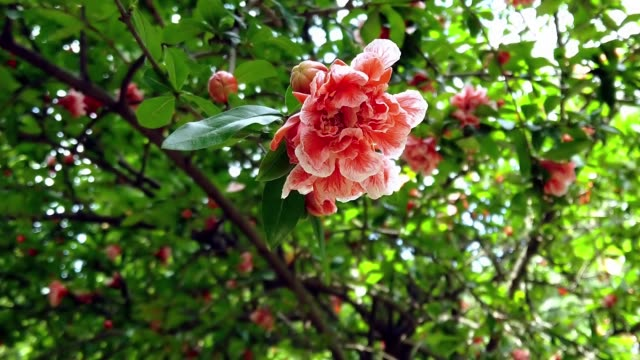 close up pomegranate flowers on tree branches