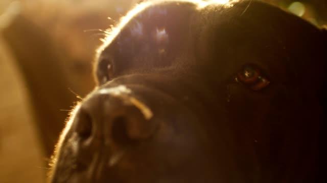 Close up Portrait a Dog Cane Corso with beautiful sun flare video