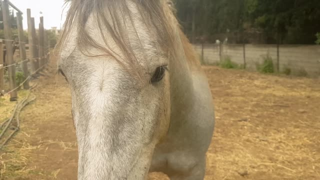 close up portrait of a beautiful white horse. - equino video stock e b–roll