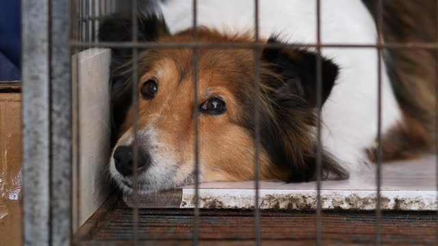 close up portrait of a cute Shetland sheepdog lying in cage and looking with shining eyes.