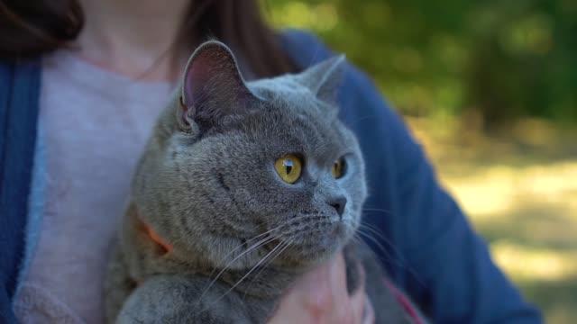 närbild porträtt av en skotsk highland straight cat med ägare. - morrhår bildbanksvideor och videomaterial från bakom kulisserna