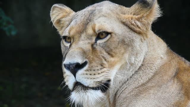 stockvideo's en b-roll-footage met portret van afrikaanse leeuwin, leeuw vrouwelijke close-up - leeuwin
