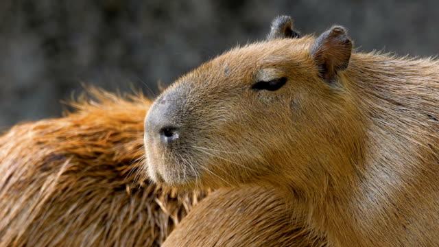 close up portrait of capybara close up portrait of capybara (Hydrochoerus hydrochaeris). Wild nature stock footage. mammal stock videos & royalty-free footage