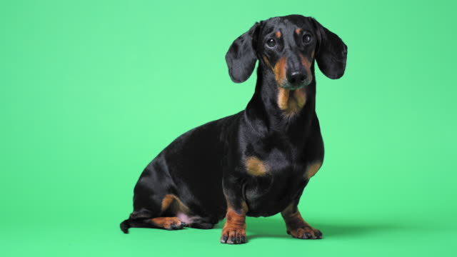 close up portrait of cute little black and tan dachshund on green chromakey background, turning its head from side to side and looking at different corners, and finally running out. - голова животного стоковые видео и кадры b-roll