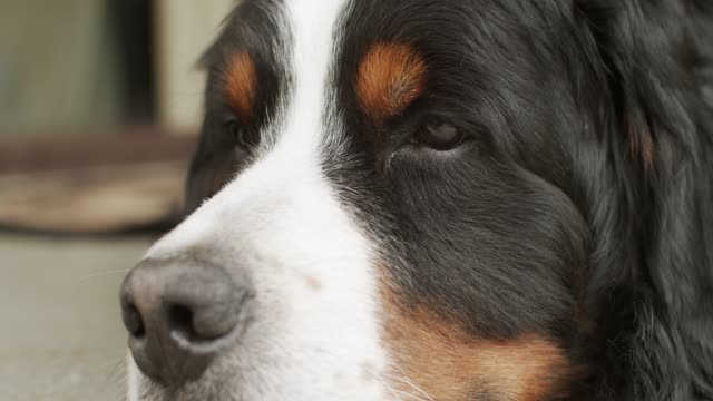 close up portrait of dog resting on porch guard the house. - fedeltà video stock e b–roll