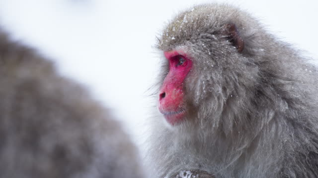 kışın baskın japon makak portresi kadar yakın, kar taneleri düşüyor. o başka bir maymun dan sarsılmış buz tarafından duş sonunda komik bölümü. - japon makak maymunu stok videoları ve detay görüntü çekimi
