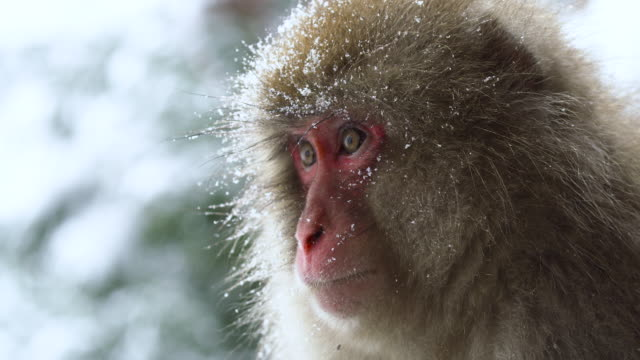 Close up Portrait of Japanese Macaque in winter, snow flakes falling. Close up Portrait of Japanese Macaque in winter, snow flakes falling. japanese macaque stock videos & royalty-free footage