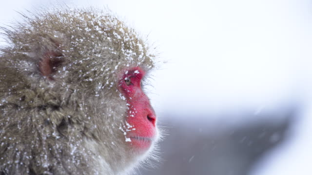 Close up Portrait of Japanese Macaque in winter, snowflakes falling. Close up Portrait of Japanese Macaque in winter, snow flakes falling. japanese macaque stock videos & royalty-free footage