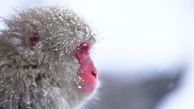 kışın japon makak portresi kadar yakın, kar taneleri düşüyor. - japon makak maymunu stok videoları ve detay görüntü çekimi