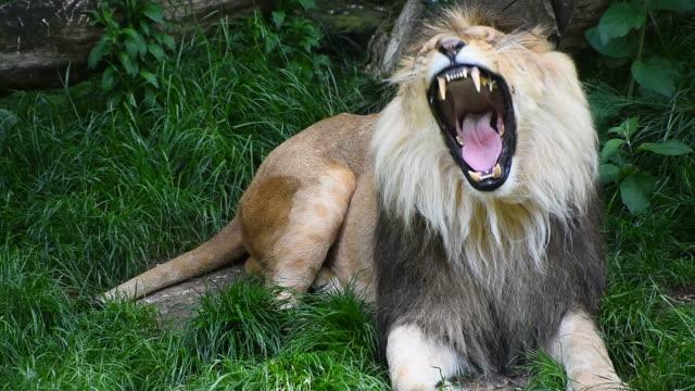 vidéos et rushes de bouchent portrait de lion mâle bâillement - zoo