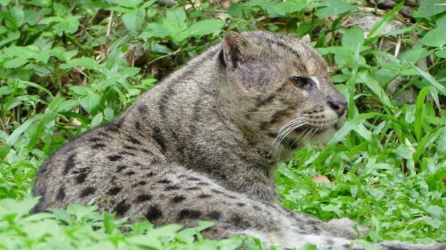 Close up portrait of one Asia wildcat.