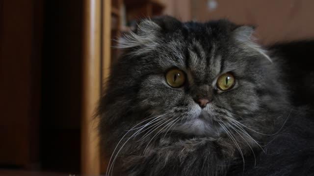 kamera ve uzak görünümlü turuncu gözleri ile ciddi sevimli gri tüylü scotish kedi portre yakın - meme hayvan vücudu bölümleri stok videoları ve detay görüntü çekimi