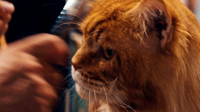 Close up portrait of tabby Maine Coon cat video