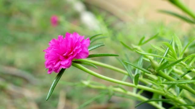 Close up portulaca flower