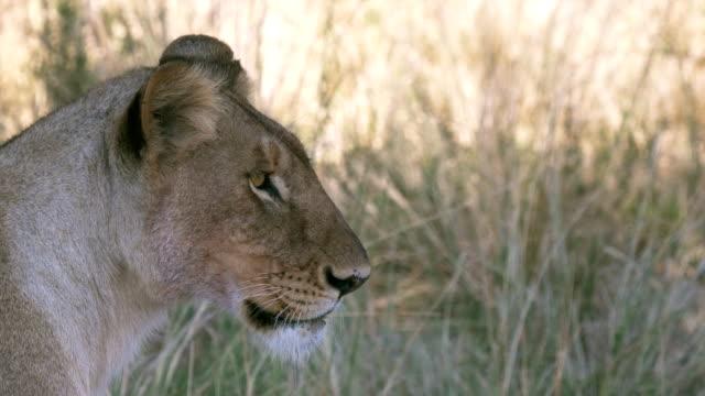 close up profile view of a lioness in masai mara