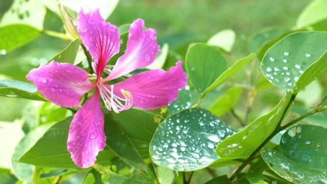 close up purple orchid tree, bauhinia flower with drop. - farfalla ramo video stock e b–roll
