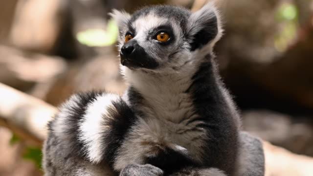 vídeos de stock, filmes e b-roll de feche o retrato de lêmure-de-cauda-anelada na natureza. imagens de 4k de alta qualidade - cauda