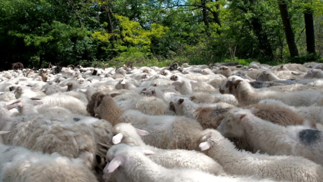 close up sea of sheep pouring past the camera. many sheep and rams go on the road. the sheep seem to be swimming along the road. livestock transplantation - ovino video stock e b–roll