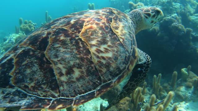stockvideo's en b-roll-footage met close up sea turtle onderwater in turken en caicos - providenciales