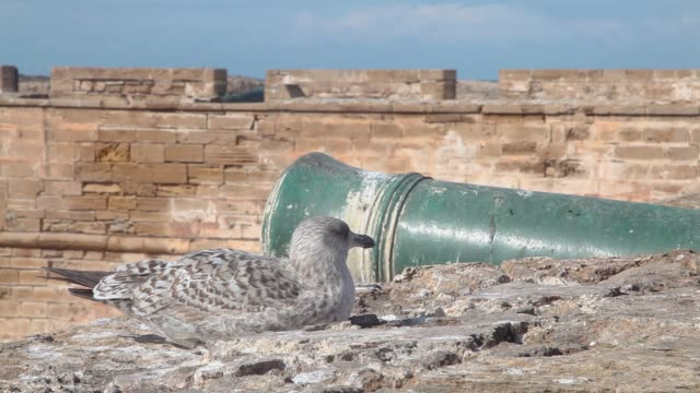 Close Up Seagull Sit Opposite cannon on the Old Fortress Wall