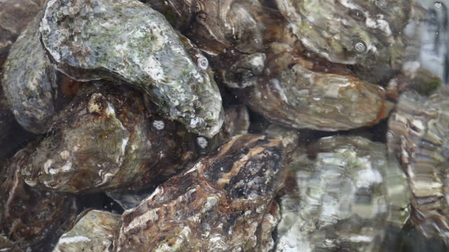 Close up several fresh oysters in running water
