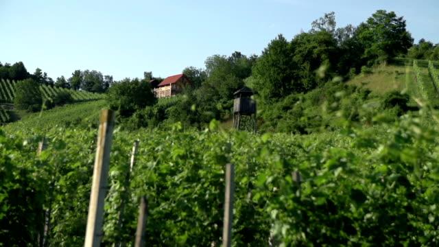 Close up shoot of vineyard rows. video