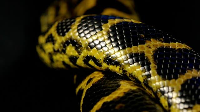 Close up shooting of crawling anaconda video