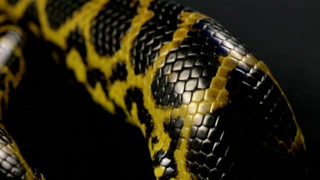 Close up shooting of yellow anaconda's snakeskin video