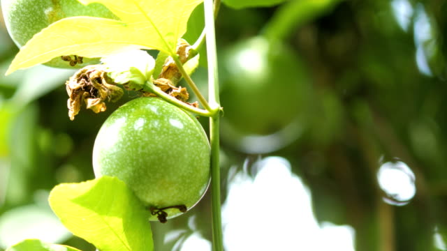 close up shot fresh nature unripe passion fruit high vitamin nutrition - passiflora video stock e b–roll
