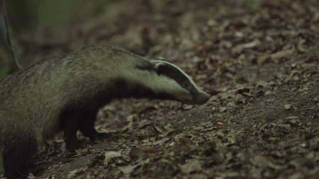 Close up shot of a badger in the Black Forest
