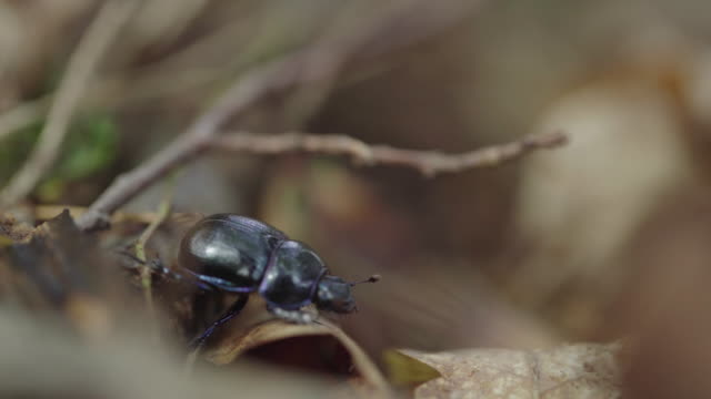 Close up shot of a black beetle crawling along leaves and twigs