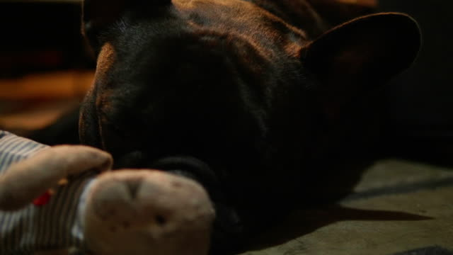 Close up shot of a cute sad looking little dog, black French bulldog. video