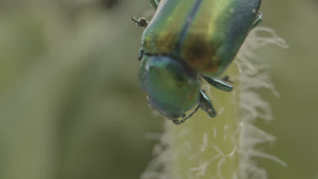 close up shot of a green beetle walking across a leaf - styria filmów i materiałów b-roll