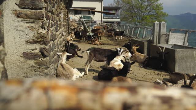 stockvideo's en b-roll-footage met close-up shot van een groep van geiten in stallen - infaden