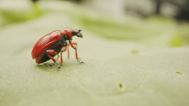 Close up shot of a red and black beetle on a green leaf