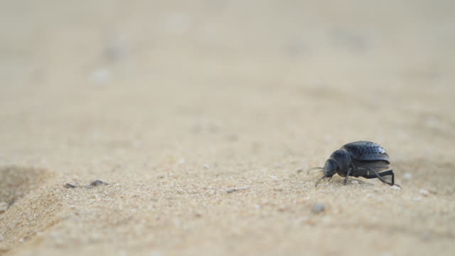 Close up shot of a sand beetle skittering across the sand