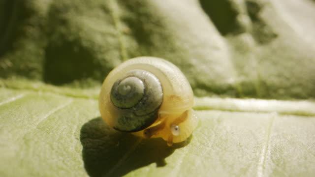nahaufnahme einer langsam bewegenden gelben schnecke auf einem grünen blatt - eskapismus stock-videos und b-roll-filmmaterial