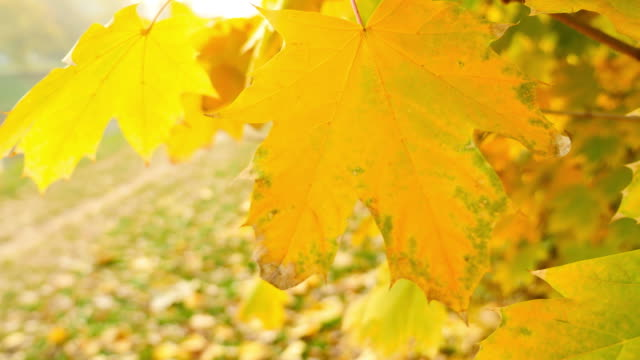 Close up shot of a tree and it´s colorful leaves, it is fall season and the leaves are swinging on the breeze video