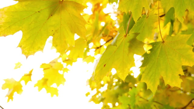 Close up shot of a tree and its colorful leaves, it is fall season video