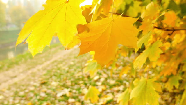Close up shot of a tree and its colorful leaves, the leaves are swinging in the wind on a breeze and a leaf falls down video