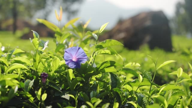 Close up shot of a violet Ipomea Purpurea, surrounded by green leaves, on a sunny morning