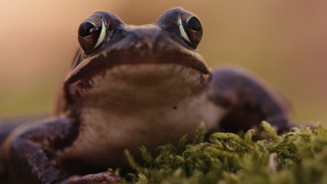 Close up shot of a woodland frog sitting idle on moss Fauna found in the Black Forest of Germany amphibian stock videos & royalty-free footage