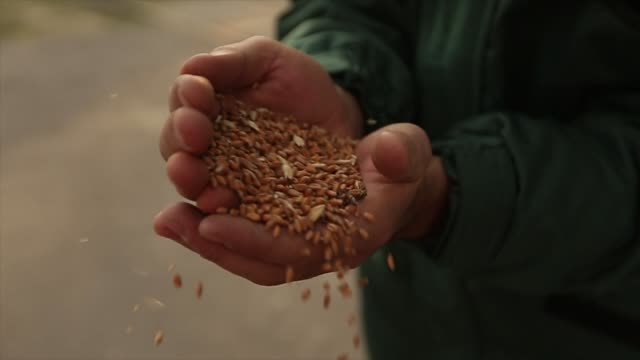 close up shot of adult farmer man hands holding wheat grain in warm sunset light. grain sifts through fingers. agronomist male hands strew grain in slow motion on sunrise. rich harvest concept - granula filmów i materiałów b-roll