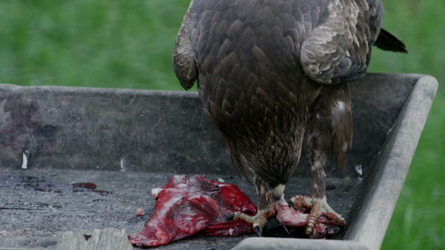 Close up shot of an eagle eating raw meat. video