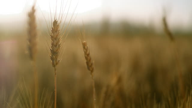 vidéos et rushes de ds fermer vers le haut du projectile d'une oreille de blé dans le domaine - tige d'une plante