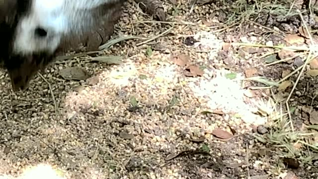 Close up shot of an ostrich head and neck, bent down to the ground as it pecks for food. 4K
